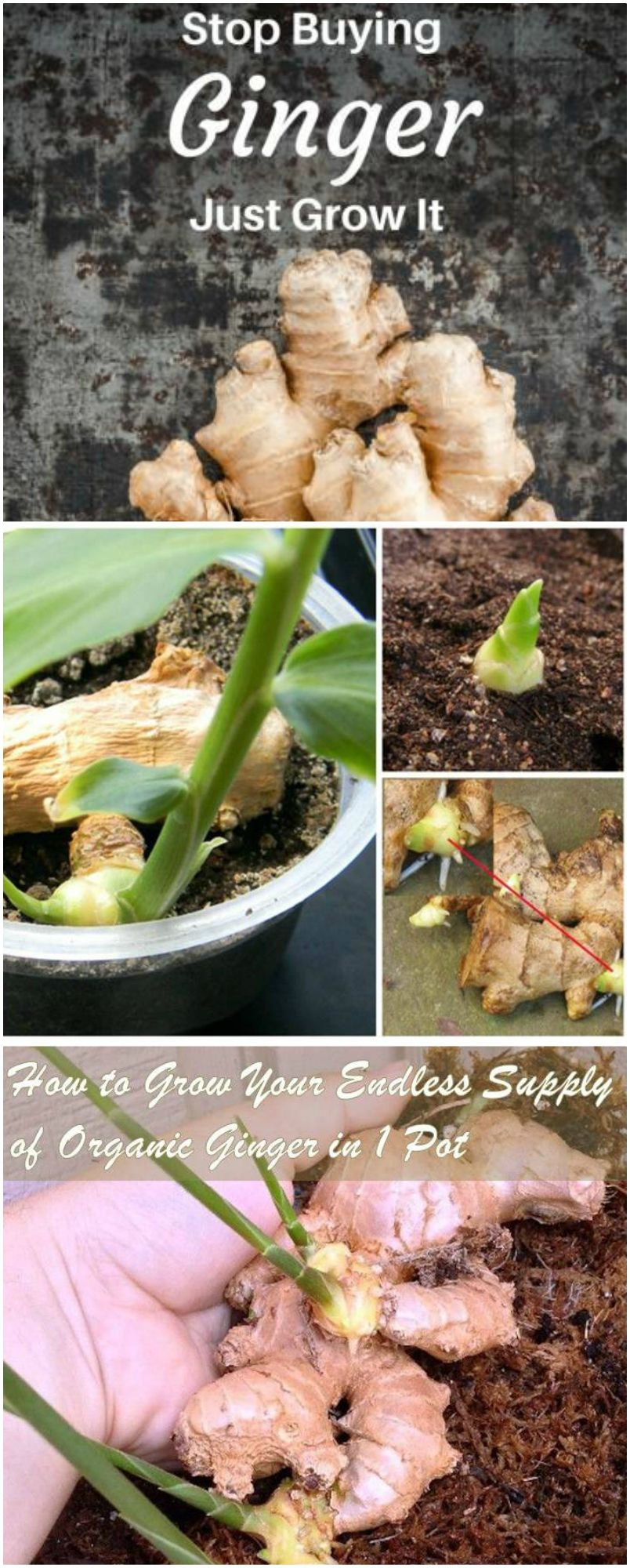How To Grow Your Endless Supply Of Organic Ginger In 1 Pot Growing Organic Food Organic Gardening Tips Organic Vegetables