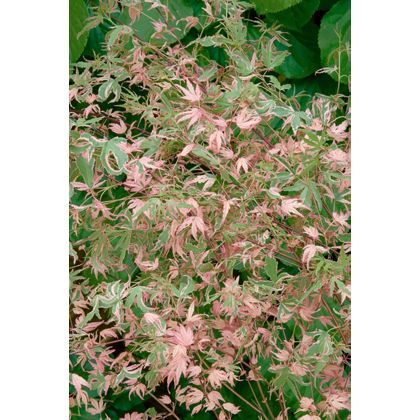 Japanese Maple At Homebase Be Inspired And Make Your House