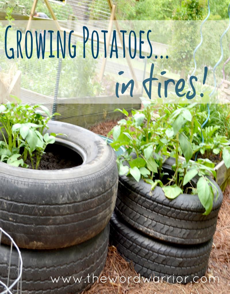 Growing Potatoes In Tires