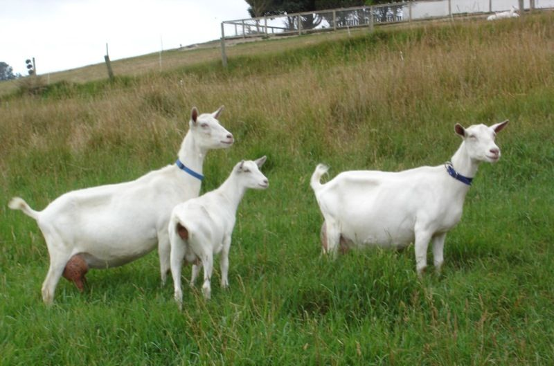 Image Result For Saanen Goat Facts