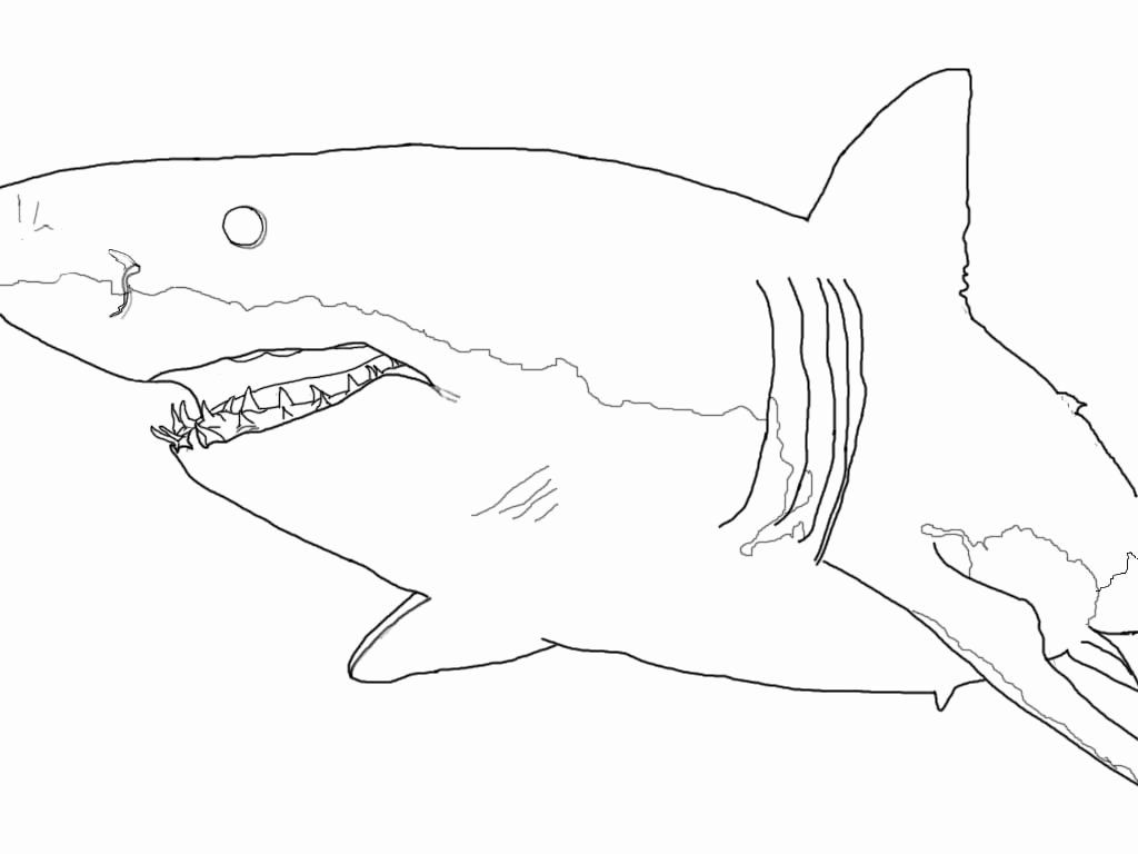 Great White Shark Coloring Page Best Of 42 Megalodon Shark Coloring Pages Spinosaurus Great White Shark Pictures Shark Coloring Pages Great White Shark Drawing