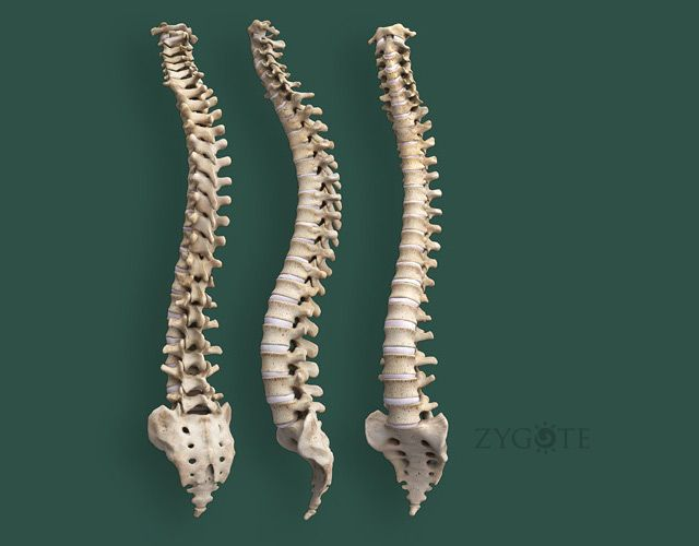 3d 4k Fbb Wallpaper Human Spine 3d Models Anatomy Amp Physiology In 2019
