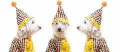 West Highland Terriers Art - Clowning Around by Edward Fielding
