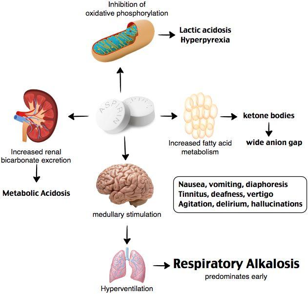 Anaerobic Metabolism: Salicylates (aspirin) Directly Stimulate The Respiratory