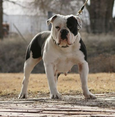 Olde English Bulldogge Black And Bulldogge Englische Bulldogge