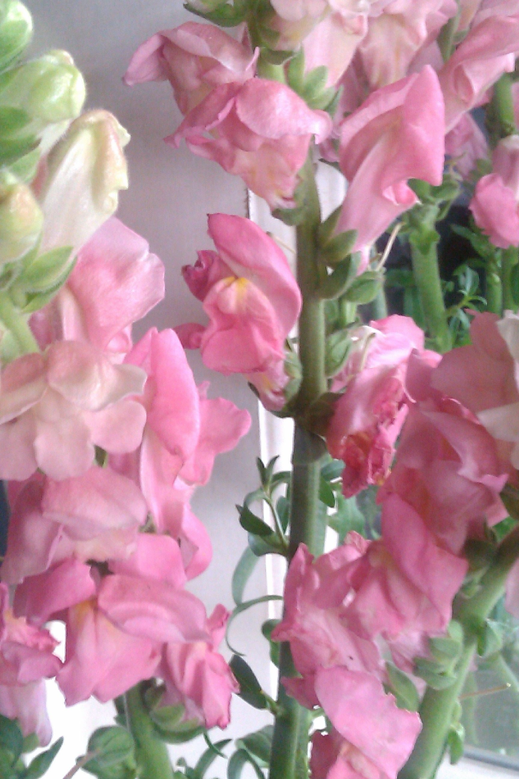 Snapdragons Year Round Pink Flowers Pinterest Flowers Ice