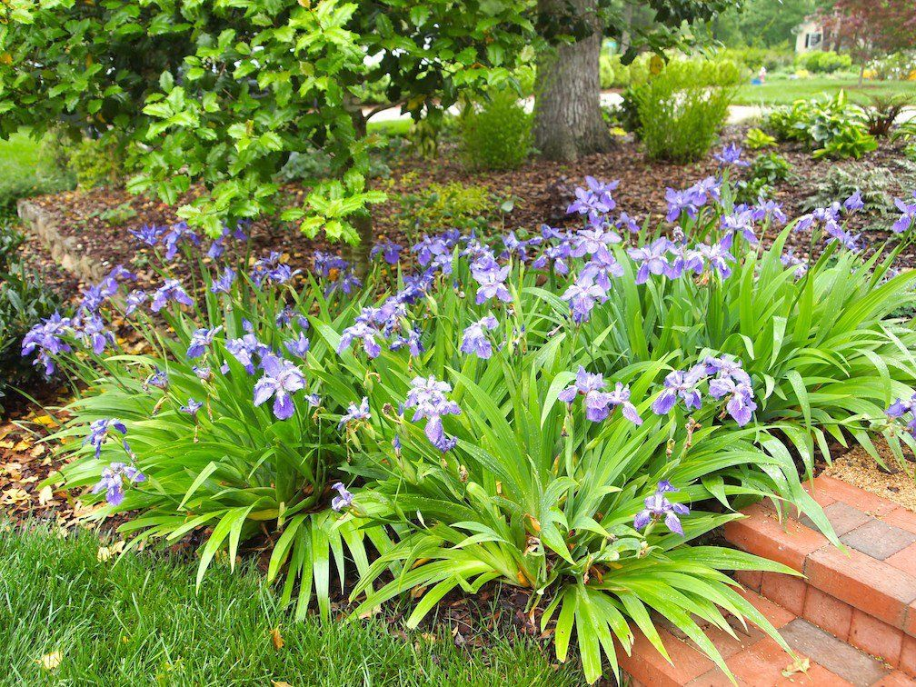 Japanese Roof Iris Garden On A Hill Daylily Garden Garden Club