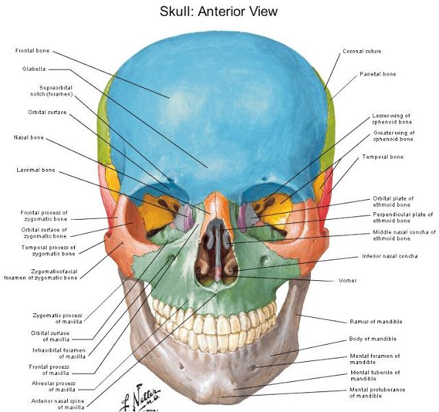 Skull Landmarks Diagrams Of Anatomy Of Skull With Radiographic