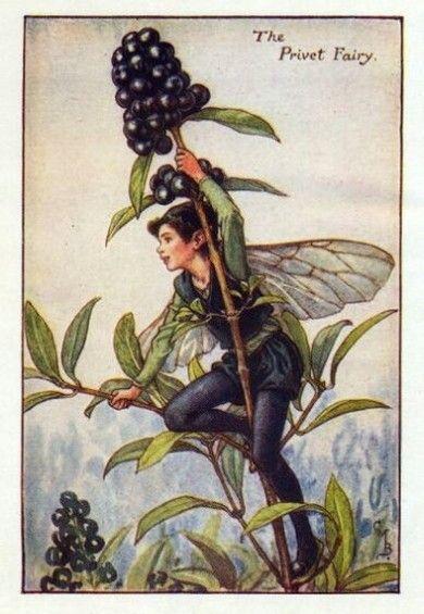 Privet Flower Fairy - Cicely Mary Barker