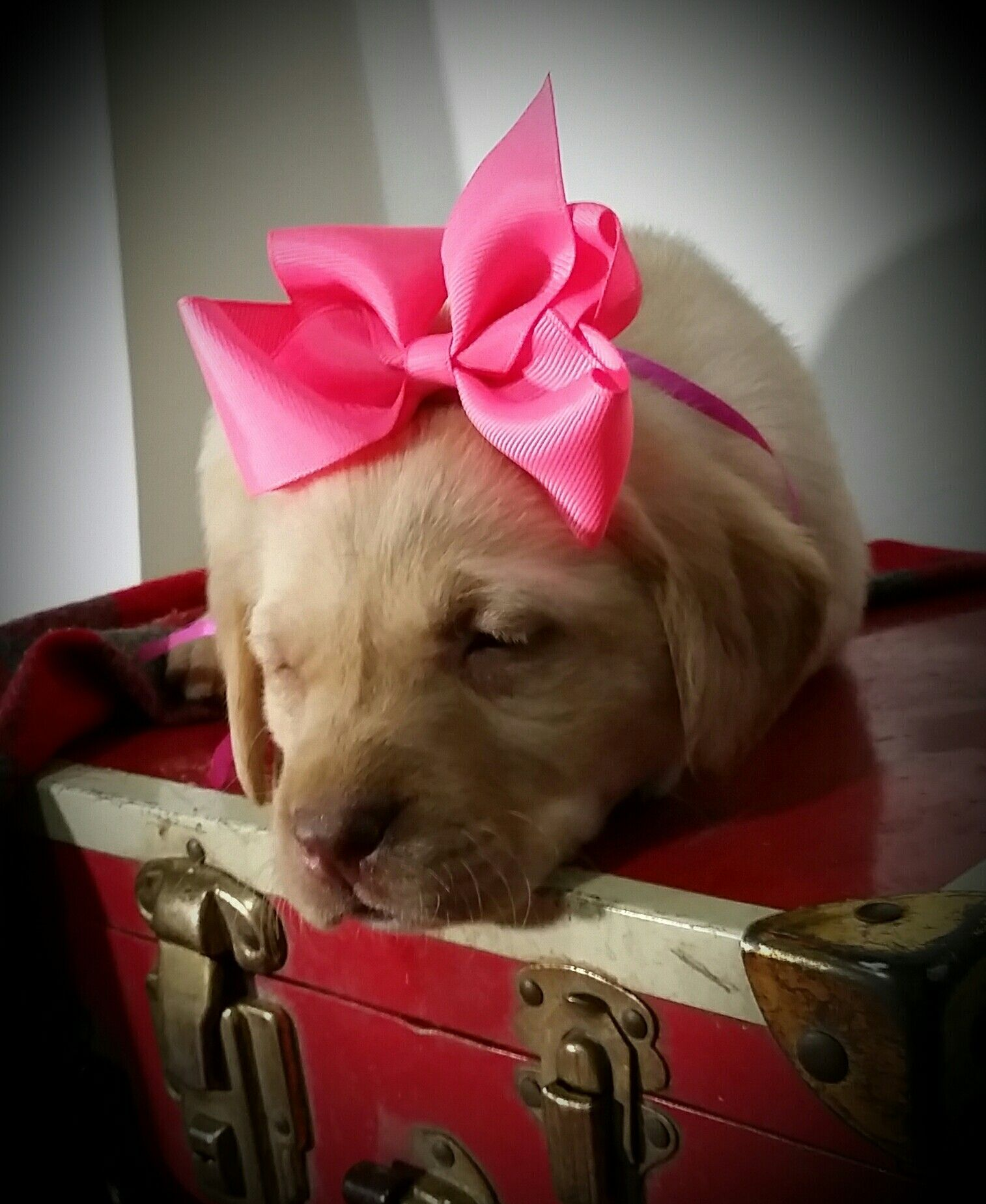 Pin by Sloane on Yellow lab puppies