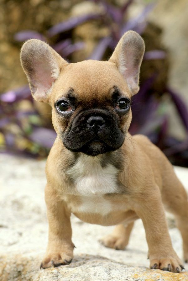 French Bulldog French Bulldog Puppies Bulldog Puppies