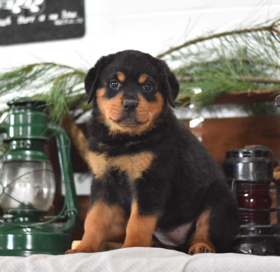 Cute Outgoing Awesome Rottweiler Puppies These Sweethearts Love To Playfetch Double Coat Rottweiler Puppies Rottweiler Dog Rottweiler