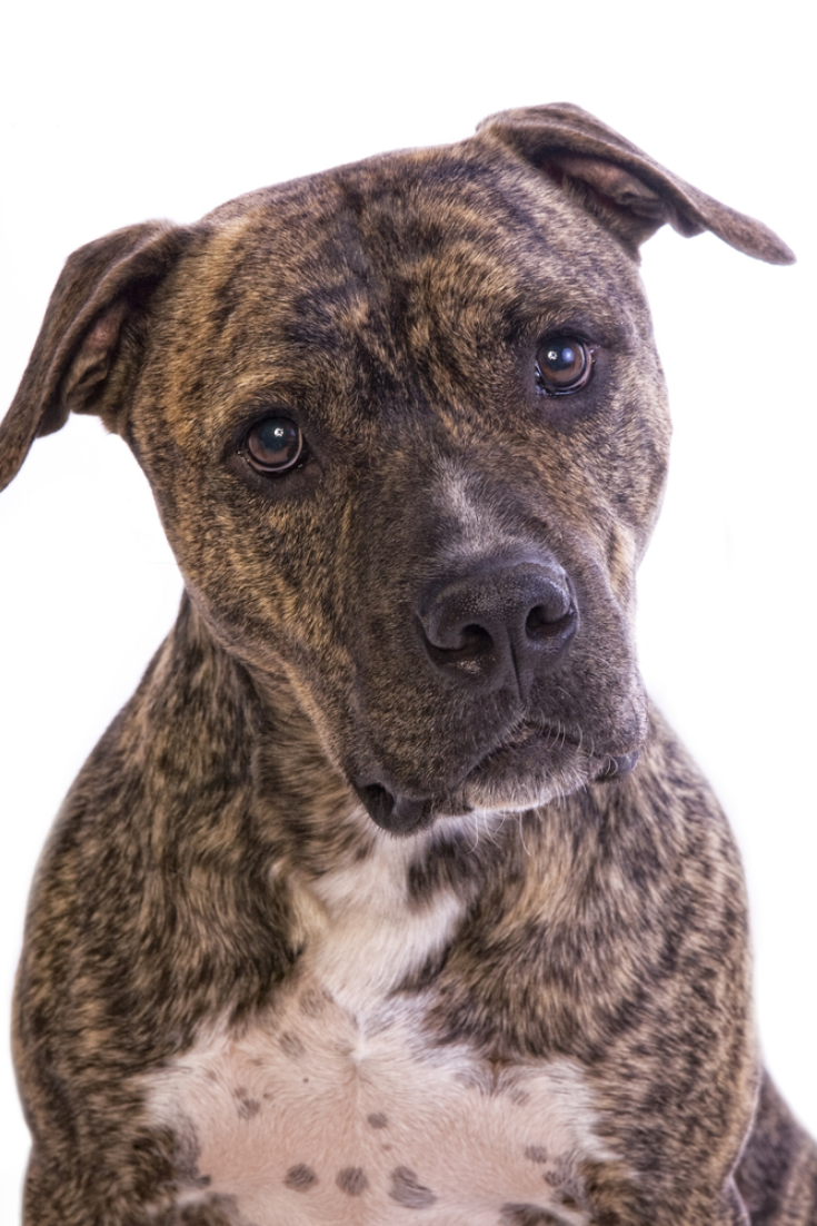 Brindle American Staffordshire Terrier Head Shot Isolated On White Background Pitbull Pitbulls Pitbull Dog American Pit