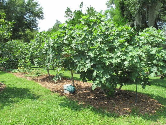 Celeste fig trees | Vegetable garden | Pinterest | Trees, Figs and ...