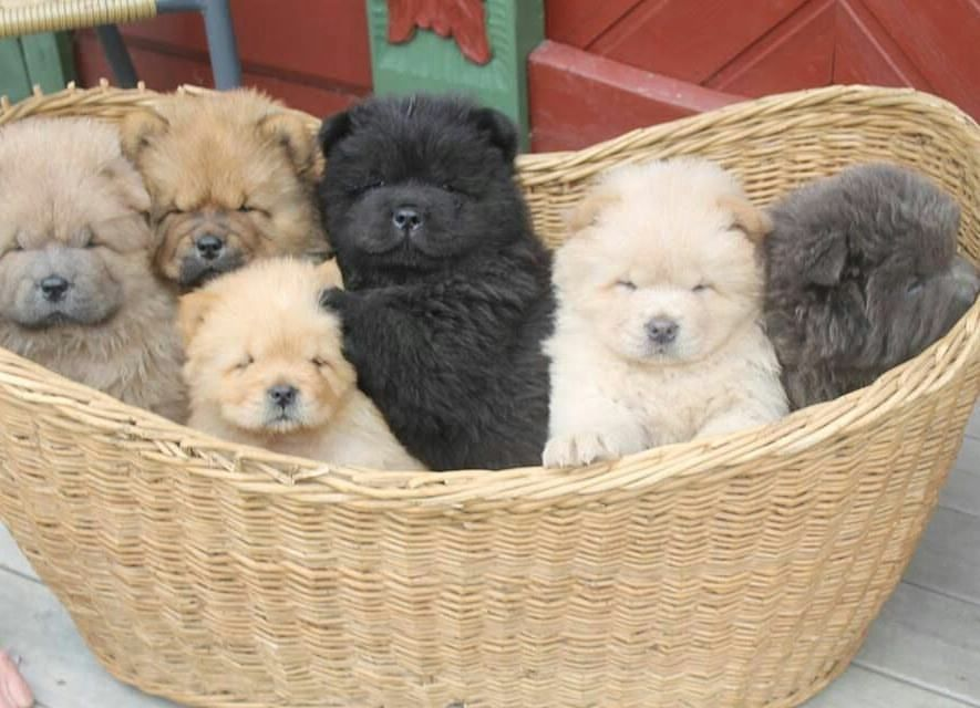 Chow Chow Pups Colors Cinnamon Red Cream Black White And