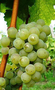 Silvaner - Vinthousiast, Rupelmonde (Kruibeke) - www.vinthousiast.be