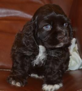 Mary S Cocker Haven Breeder Of American Cocker Spaniel Puppies