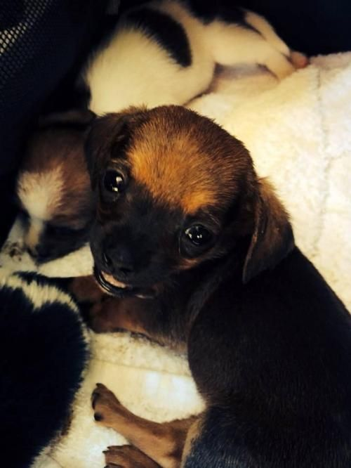 Smiley is an adoptable Dachshund, Pomeranian Dog in Los