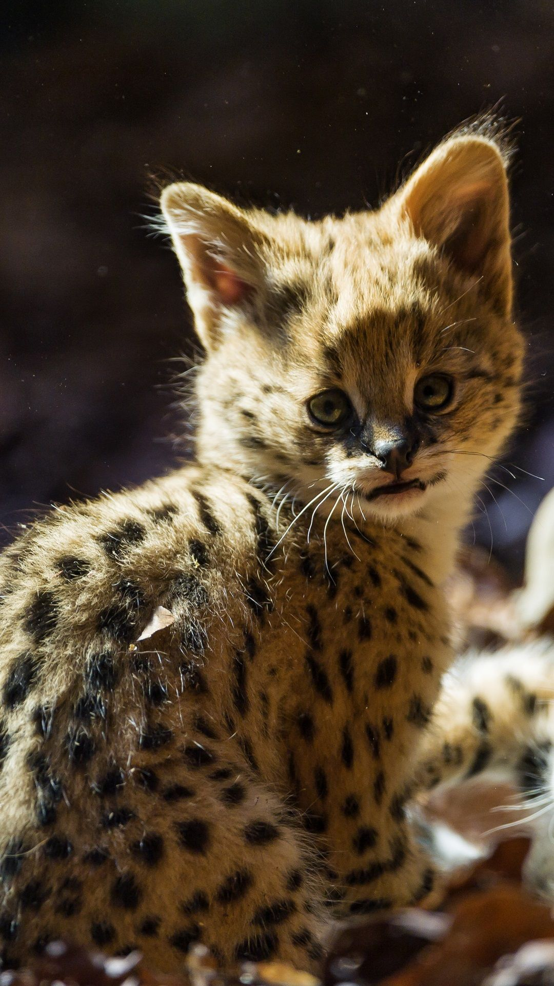 Serval cat, kitten iPhone 6 (6S) Plus wallpaper