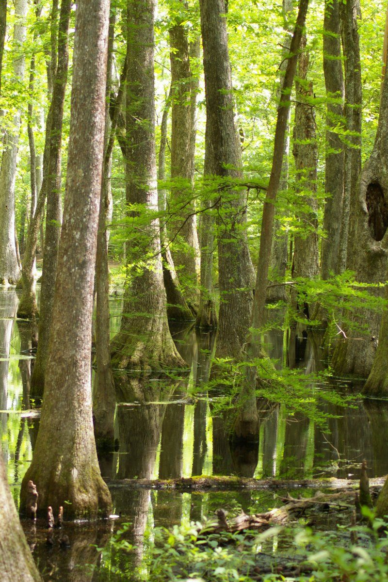 Cypress Swamp Along The Natchez Trace About 30 Miles From Jackson