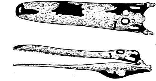 "Stomatosuchus inermis (""Weaponless mouth crocodile"