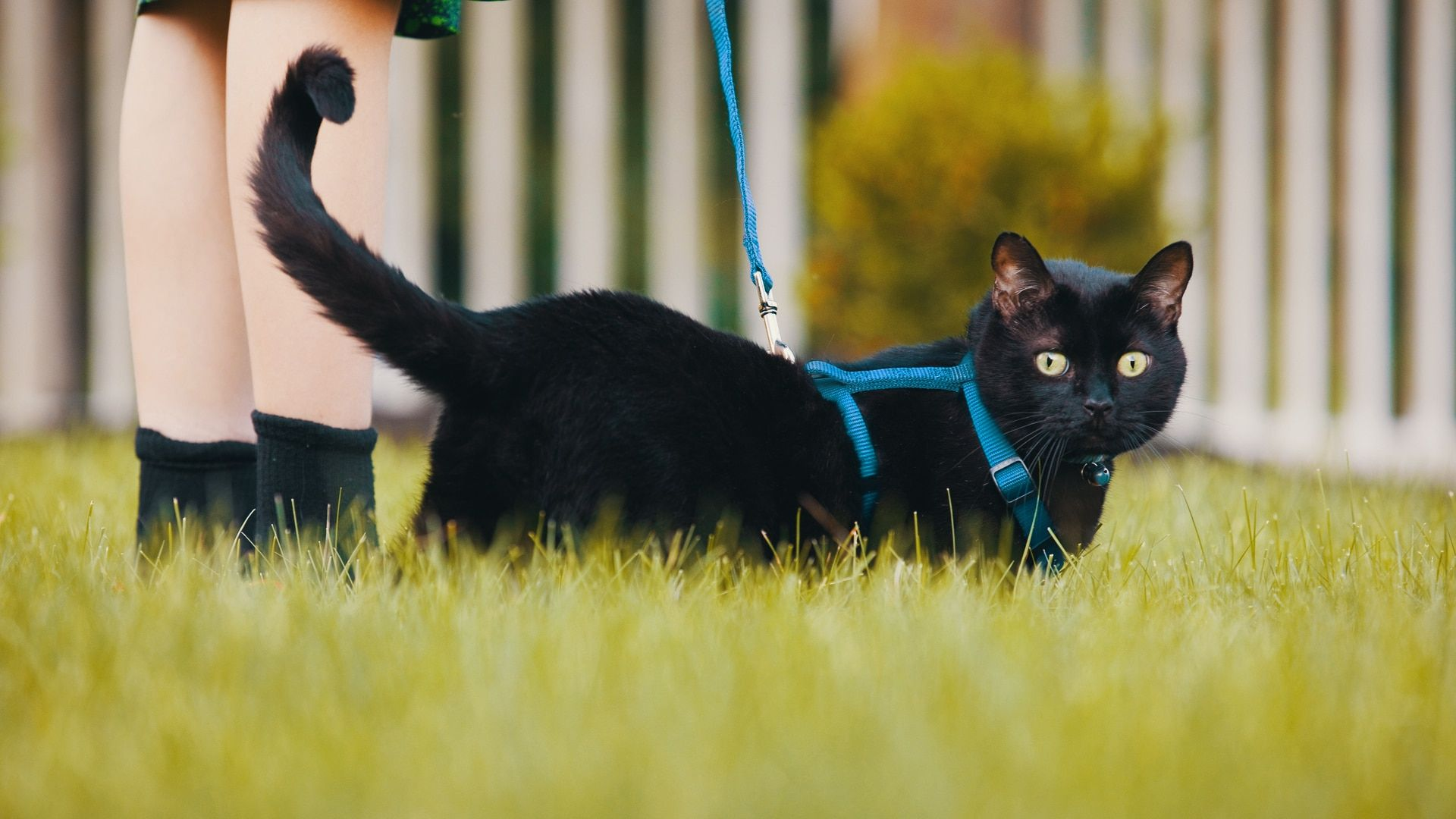 Should You Leash Walk Your Cat Ask The Cat Daddy Jackson Galaxy Pets Sick Pets Cats