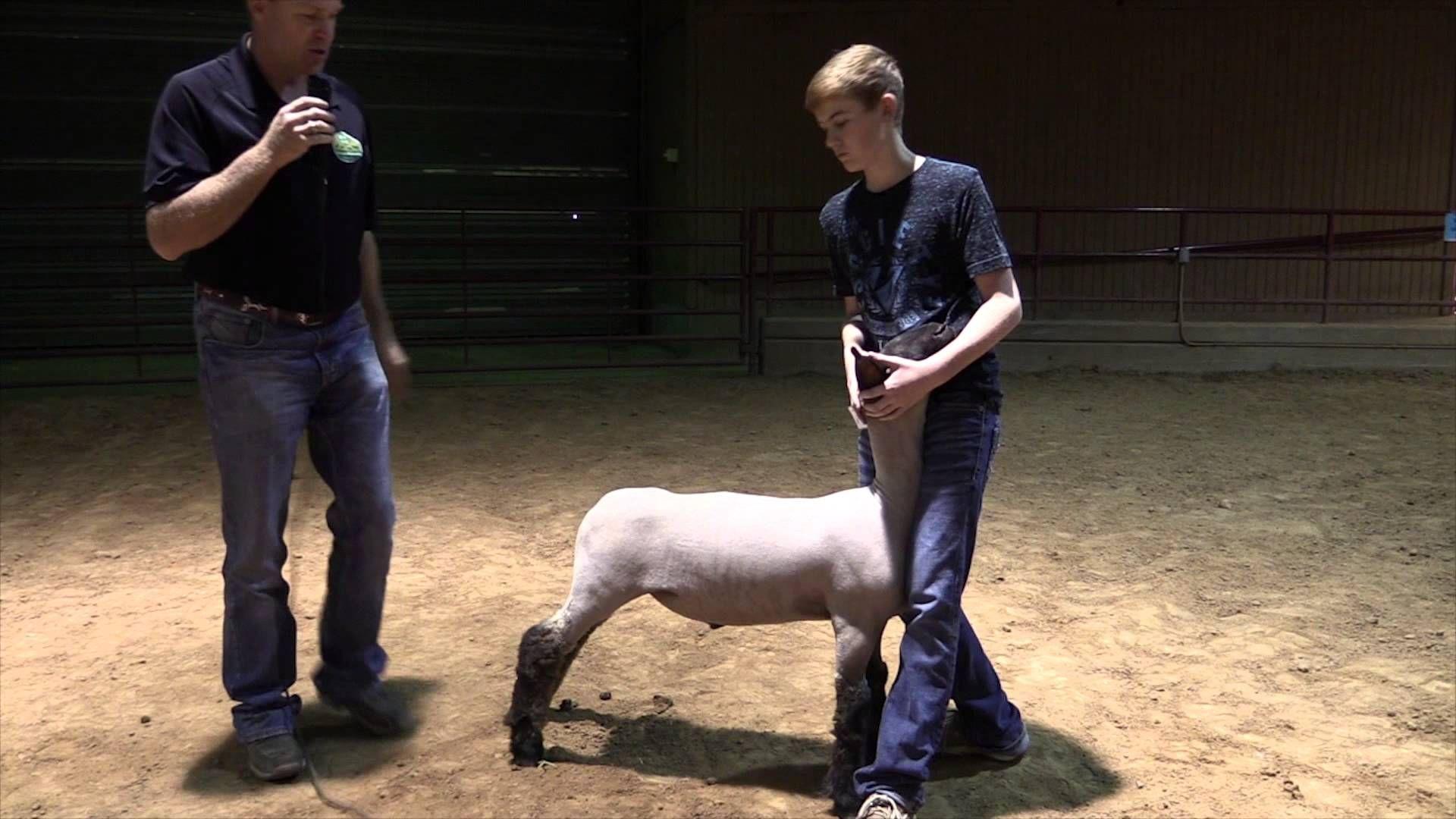 Sheep Series Showmanship