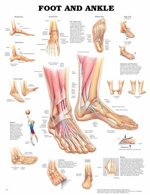 muscles of the foot and ankle | anatomical foot ankle laminated ...