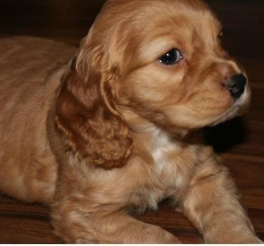 5 Month Old English Cocker Spaniel Looking For Forever Home