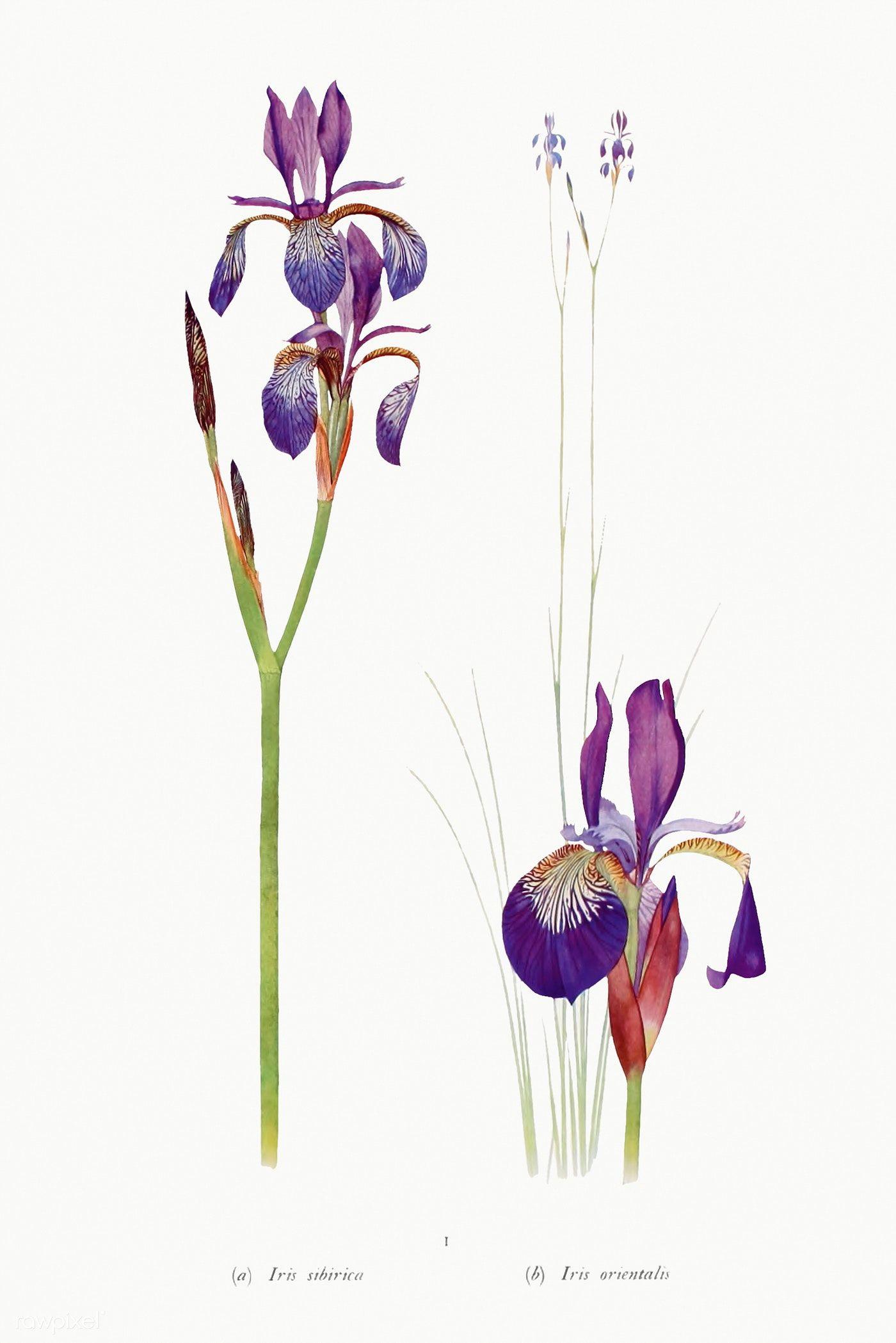 Download Premium Illustration Of Vintage Iris Flower Illustration Template In 2020 Flower Illustration Iris Flowers Illustration
