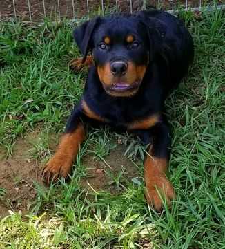 Rottweiler Puppy For Sale In Prosperity Sc Adn 36913 On