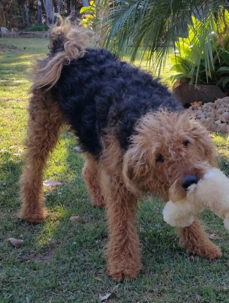 Gorgeous Kenzi - Airedale Terrier
