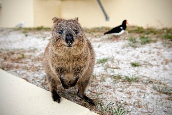 All in a day's work of being a Quokka! | Animals, Quokka ...
