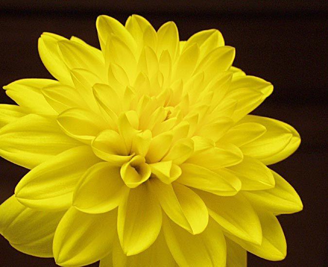 Naturally Yellow Summer Flowers Yellowdahlia 974 72