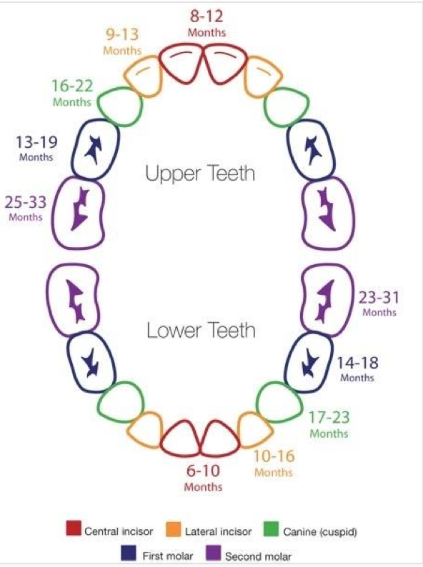 Infant and toddler tooth chart fro soon to be and new parents please