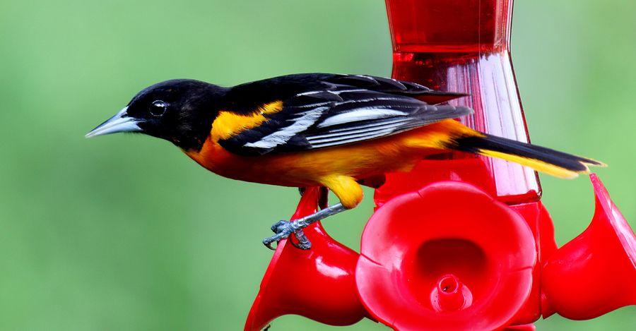 Baltimore Oriole Maryland State Bird Beautiful Birds Birds Butterflies State Birds