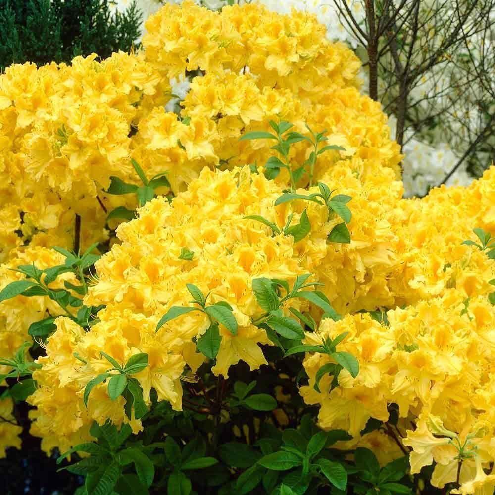 Azalea Knap Hill Hybrid Anneka Deciduous Azalea Plant In 3 5 Pot Pot Yellow Flowering Shrub Flowering Shrubs Spring Hill Nursery