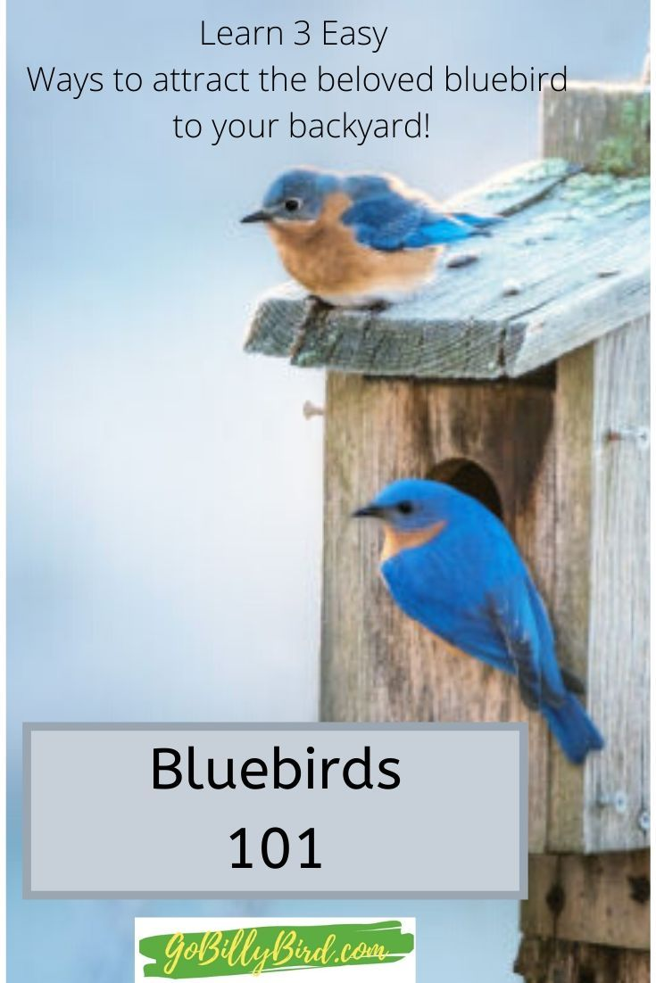 3 Easy steps to attract the beloved bluebird to your yard ...