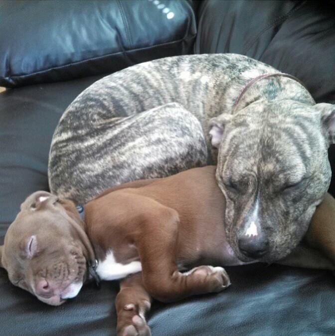 Awwwww Brindle Dog Sleeping Pitbulls Cute Furry