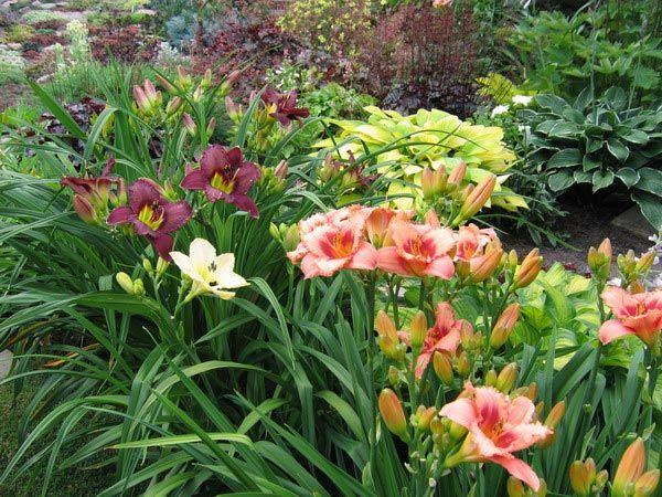 Цветок лилейник посадка и уход, фото, выращивание и сорта; красоднев 38