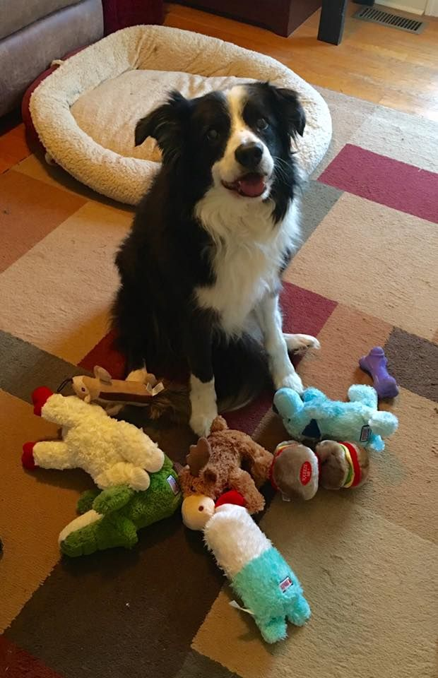 Here Are Some Toys For You To Play With Me Border Collie Dog