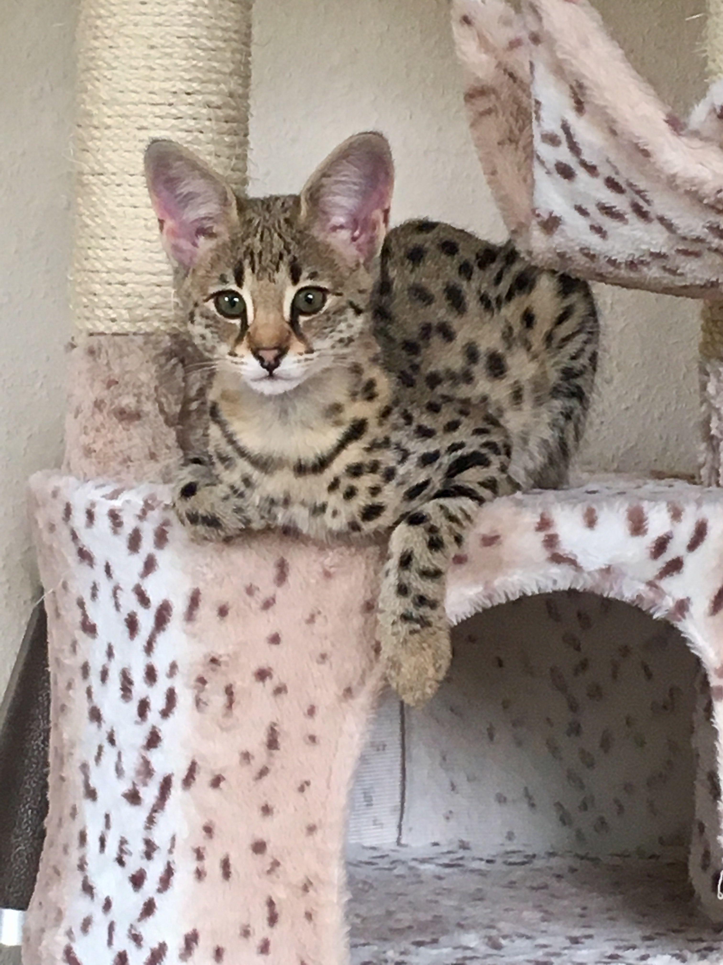 Savannah F1 Kitten Cat Cat Breeds Cats And Kittens Savannah Chat