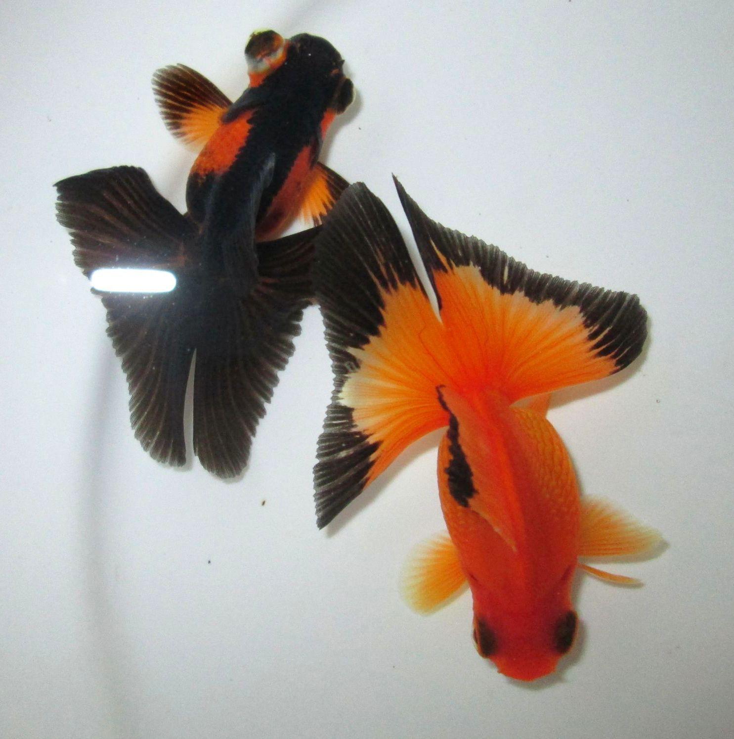 2 75 ryukin butterfly and rb demekin butterfly oranda for Pesce rosso butterfly