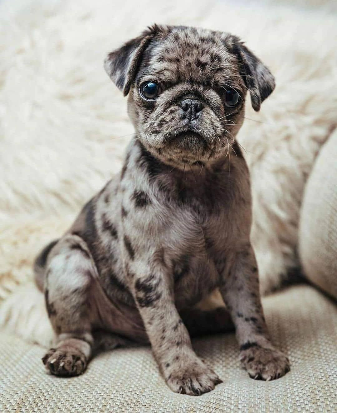 Pin By Colleen Theodore On Practically Perfect Pugs Baby Pugs