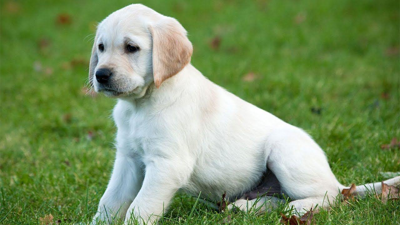Golden Retriever Puppy Play Guide Dog Puppies
