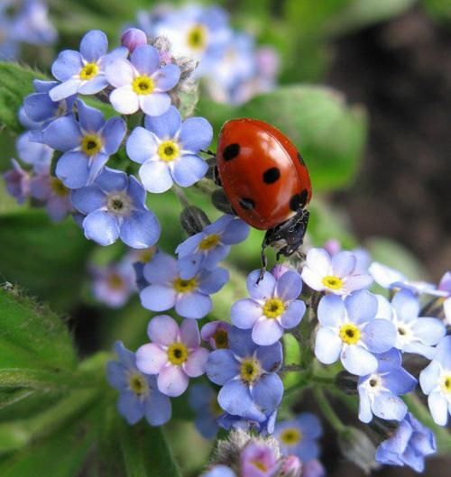 Beautifulnativeplants Ladybugs Lady Beetles Or Ladybird: Her Enchanted Garden... Lady Bug With Blue Forget Me Nots