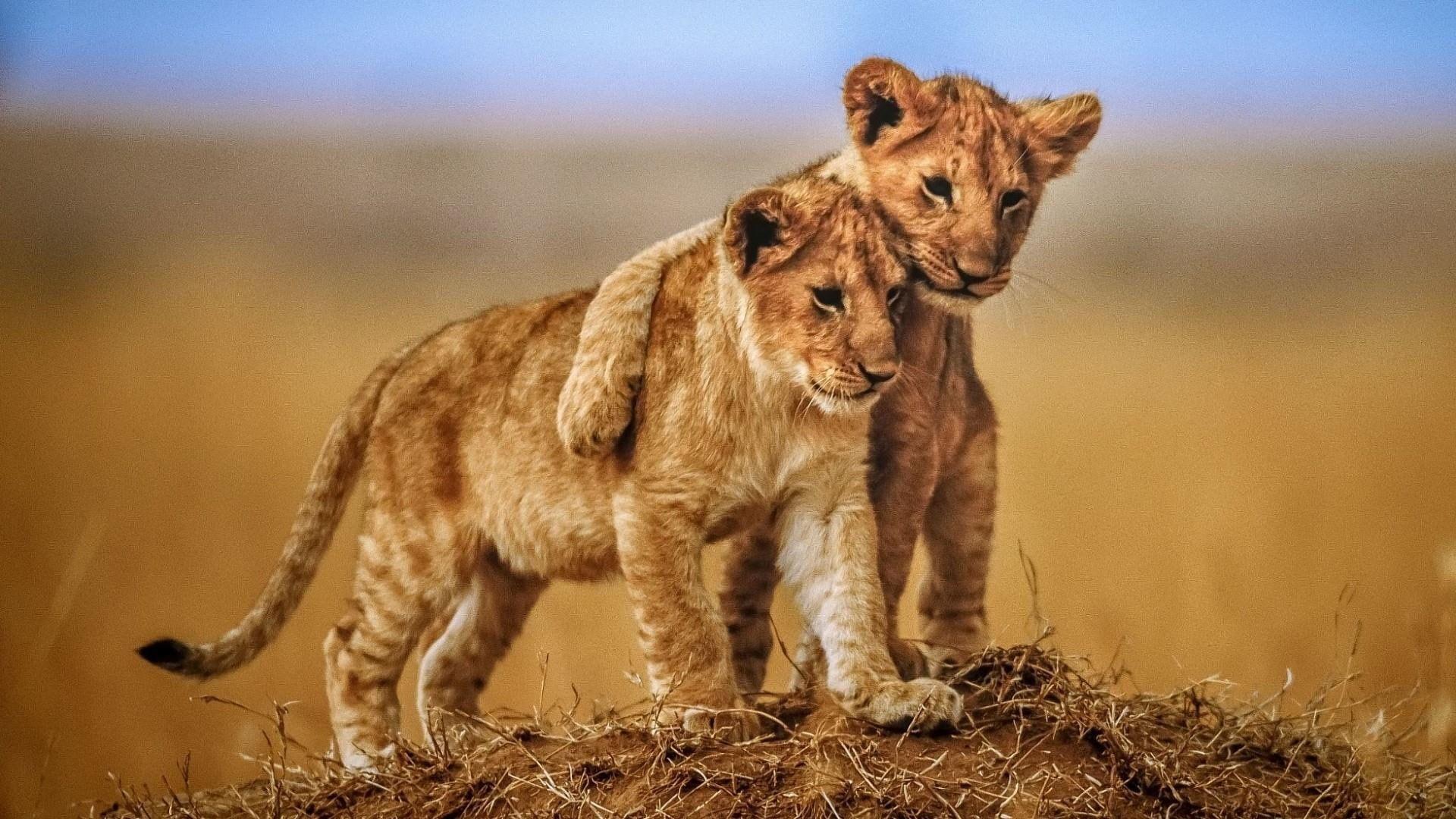 Wildlife Lion Cubs Cute Wild Animal Big Cats Savanna Safari 1080p Wallpaper Hdwallpaper Desktop Lion Hd Wallpaper Lion Wallpaper Animals Wild