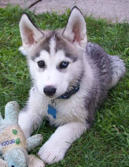 Husky Puppy Husky Puppies Husky Puppy Dogs Puppies Cute Dogs