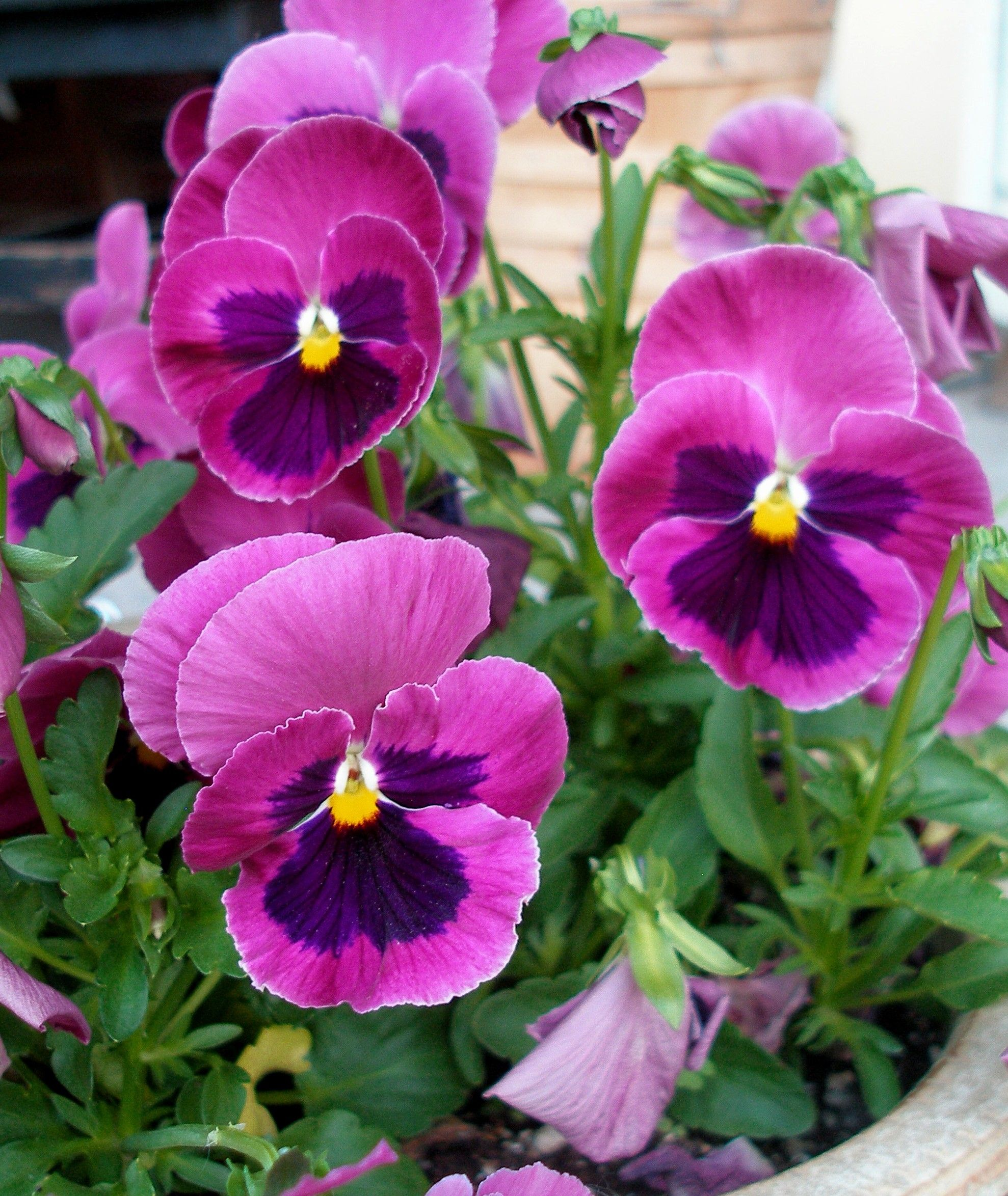 Pin By Lucy At Patina Paradise On Pansies Pansies Flowers Flowers Photography Flower Photos