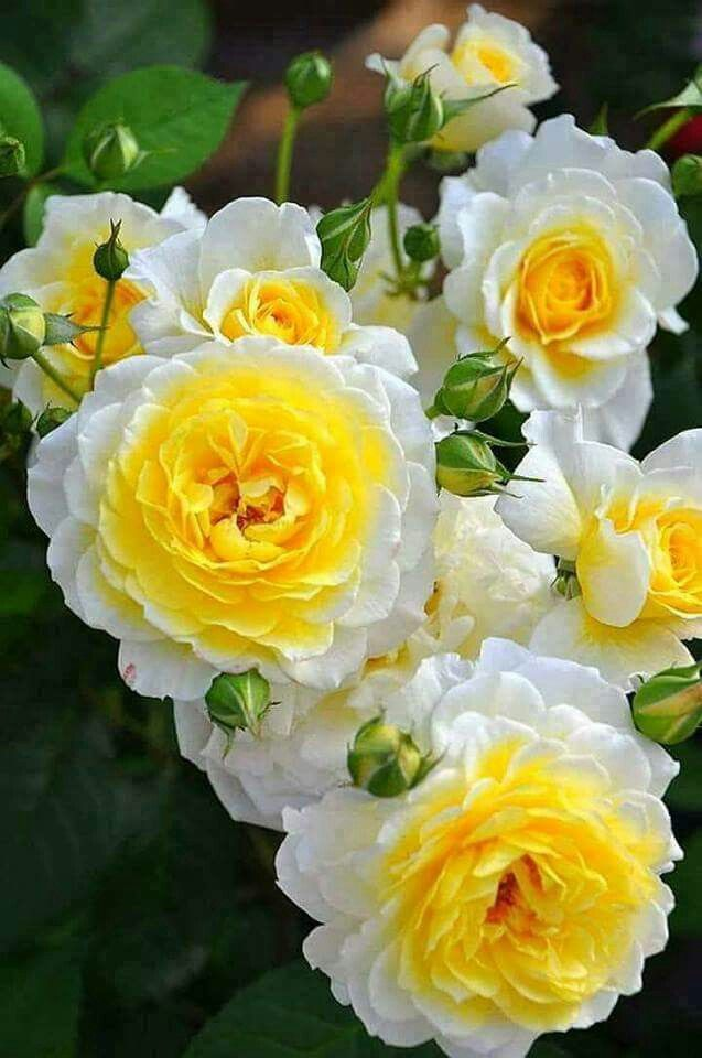 What beautiful two tone Roses!! #shadeplantsperennial